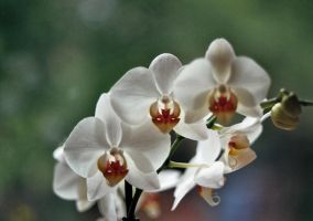 Orchid by KB-Fotografie