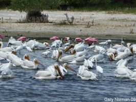 Pelicans and Spoonbills by buddhabear