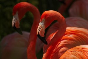 Two Flamingos by fdemmer