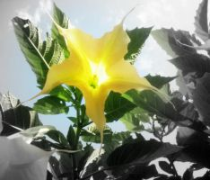yellow trumpet by 3way