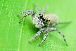 Jumping spider on green leaf by Dark-Raptor