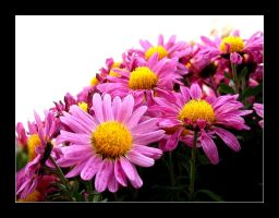 Pink and yellow flowers by MichelleMarie