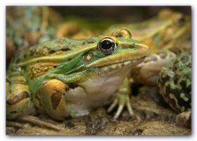 Leopard Frog by Dracofish
