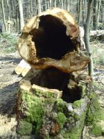 Hollow big-ass tree trunk by KuznyaDragonOfBaa