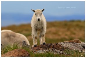 Little Mountain Goat by Nate-Zeman