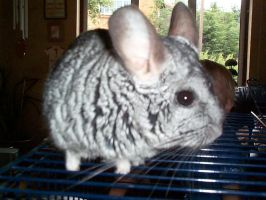 my old chinchilla by mearkatman