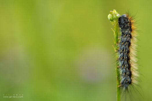 Caterpillar on a Stem by Gil-Levy