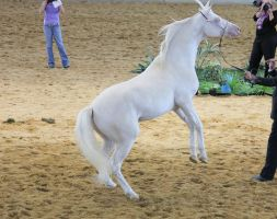 STOCK - Cremello Part Arabian Rear by fillyrox