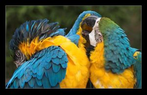 Macaws in Love by Ratafluke