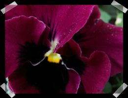 Purple pansy. by maadobs-garden