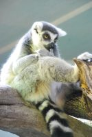 ring-tailed lemur 1.1 by meihua-stock