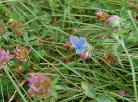 Provencal Short tailed Blue by ancoben