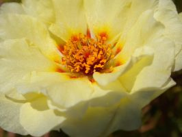 portulaca yellow by deviantsickness