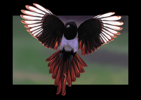 Eurasian Magpie by Tawned