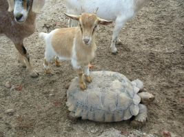 Goat on Turtle by Kagedfish