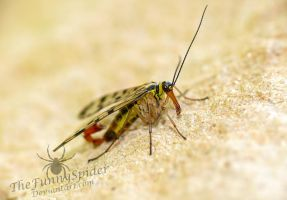 Male Scorpion Fly - Panorpa germanica by TheFunnySpider