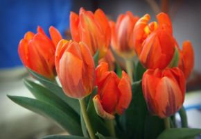 Tulip's time II by miss-gardener