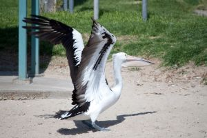 Large Pelican Flying Stock 2 by CNStock