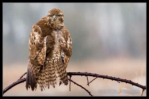 Red Tail Hawk 2 by AlexCphoto