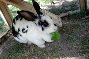 Bunny Munching on Lettuce by ChicaDelMar