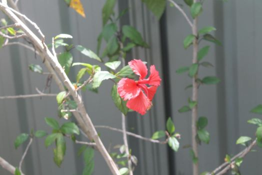Hibiscus one by hollygalah