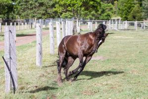 Dn Black pony about to rear bunched up by Chunga-Stock