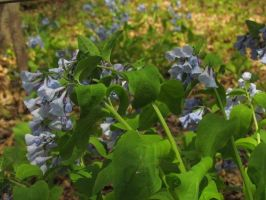 Bluebells by Sally599