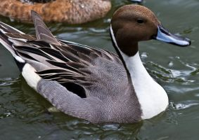 Duck, Duck... No Goose by Roland3791