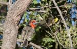 Black collared Barbet by AnneMarks