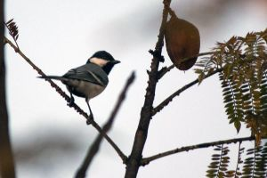 The Great Tit by vwake