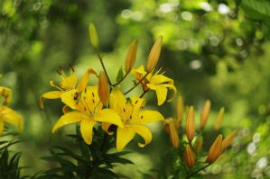Lilies by Winstein