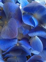 Hydrangea blues by RosalindClarke