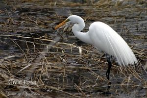 Great Egret Juvenile 2 by UffdaGreg