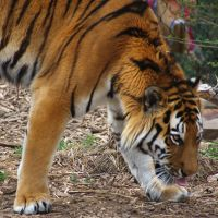 Hogle Zoo - Tiger by LycanDID