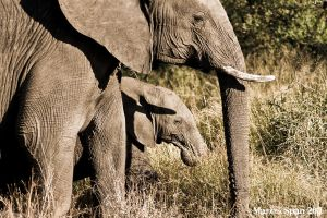 Elephant and calf by MJWallace
