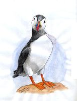 puffin by poseidonsimons