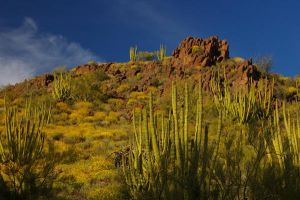 Organ Pipe Cactus NM 2 by PatGoltz