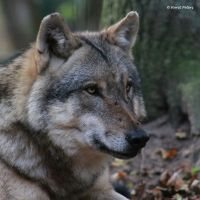 Canis lupus lupus by bluesgrass
