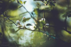 Apple blossom by Ellieeh