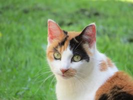 Calico Cat Stock 8730 by sUpErWoLf--StOcK