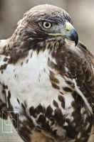 Red-Tail by JonShotFirst