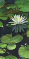 Waterlily by clarenancyking