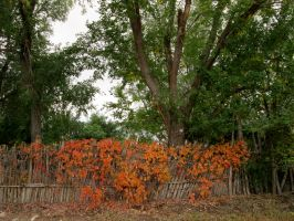 Virginia Creeper on Coyote Fence by DVanDyk
