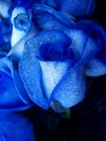 blue rose by inuyashacrazed