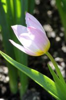 Pale Pink Tulip 2 by CASPER1830