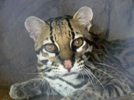Ocelot by Son-of-Italy