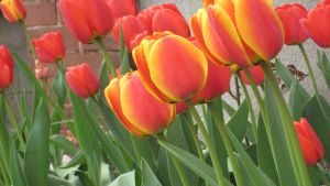 Tulips 02 by willconquers-stock