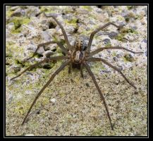 The Giant house spider 3 by Vitaloverdose