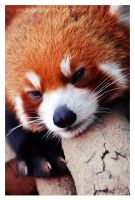 Red Panda: i'm bored..2 by no-photography