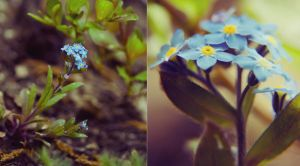 Please, forget-me-not.. by Elanor90
